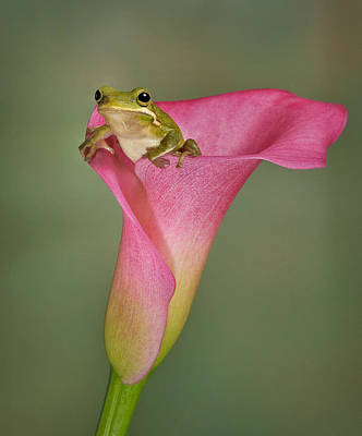 Lillies Photograph - Kermit Peeking Out by Susan Candelario
