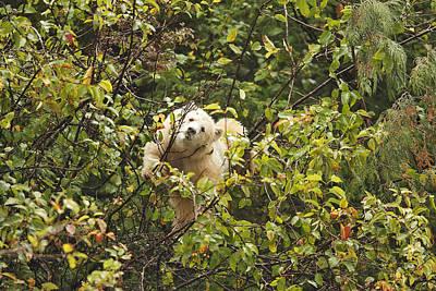Kermode Or Spirit Bear In Tree Art Print