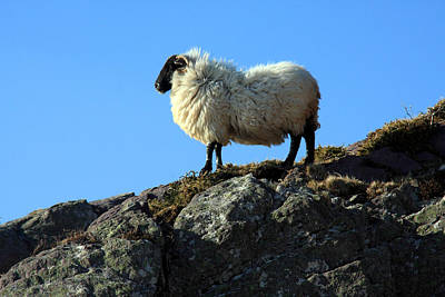 Photograph - Kerry Hill Sheep by Aidan Moran