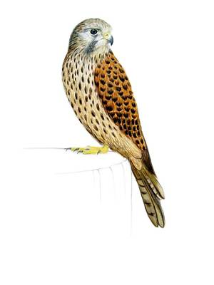 Spotted Bird Painting - Kestrel by Ele Grafton