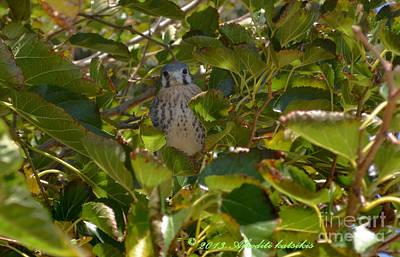 Photograph - Kestrel Fledgling  by Afroditi Katsikis