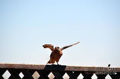 Photograph - Kestrel Fledgling Flapping Wings by Afroditi Katsikis