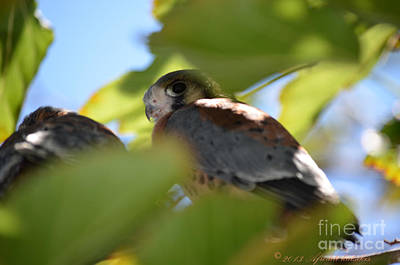 Photograph - Kestrel Fledgling Spots Me by Afroditi Katsikis