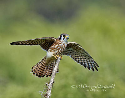 Photograph - Kestrel Landing by Mike Fitzgerald