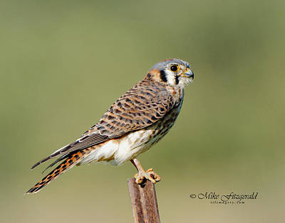 Photograph - Kestrel by Mike Fitzgerald