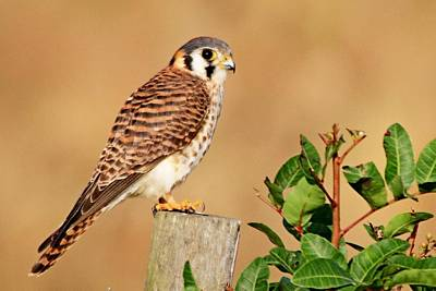 Photograph - Kestrel On A Fence by Ira Runyan