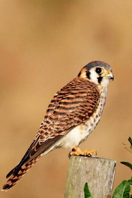 Photograph - Kestrel On A Fence Post by Ira Runyan