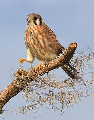 Photograph - Kestrel On A Stick by Ira Runyan