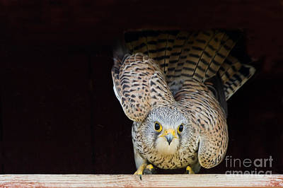 Yellow Beak Photograph - Kestrel Ready To Go by Torbjorn Swenelius