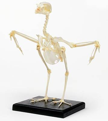 Kestrel Photograph - Kestrel Skeleton With Wings Out To Sides by Dorling Kindersley/uig