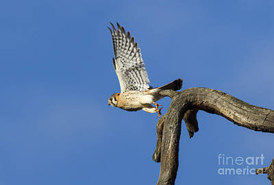 Sparrow Photograph - Kestrel Take-off by Mike  Dawson