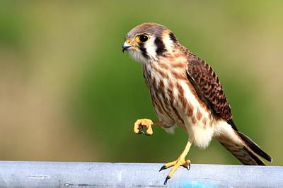 Photograph - Kestrel Up Close by Ira Runyan