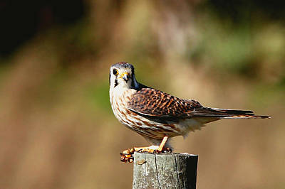 Photograph - Kestrel With A Bee by Ira Runyan