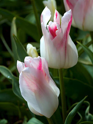 Photograph - Keukenhof Tulip Buds by David Beebe