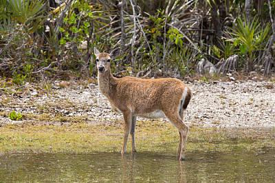 Animal Paintings David Stribbling Royalty Free Images - Key Deer Portrait Royalty-Free Image by John M Bailey