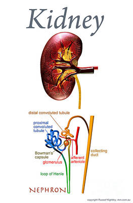 Digital Art - Kidney Poster by Russell Kightley
