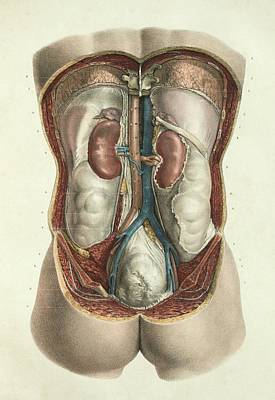 1839 Photograph - Kidneys by Science Photo Library