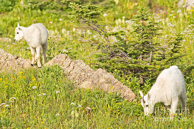 Mountain Goat Photograph - Kids In Glacier National Park by Natural Focal Point Photography