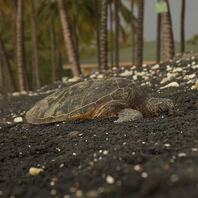 Reptiles Photograph - Kiholo Bay Turtle Rest Area #hawaii by Brian Governale