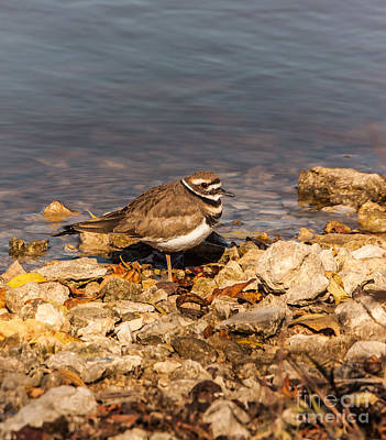 Kildeer On The Rocks Art Print