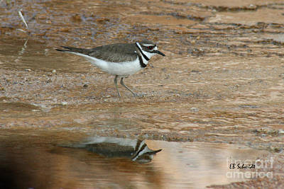 Photograph - Killdeer 01 by E B Schmidt