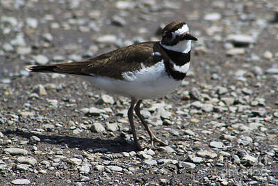 Photograph - Killdeer by Alyce Taylor