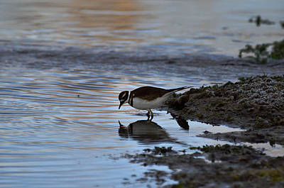 Photograph - Killdeer-blue Reflection by Rae Ann  M Garrett