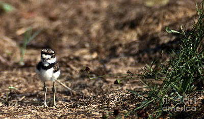 Killdeer Photograph - Killdeer Chick by Skip Willits