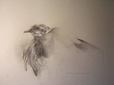 Killdeer Drawing - Killdeer by Darryl Steele