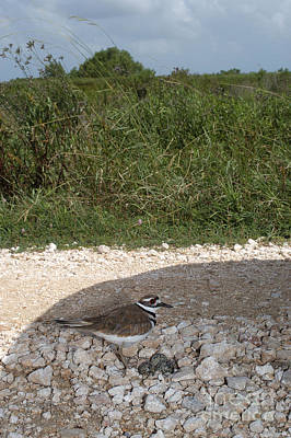 Killdeer Defending Nest Art Print