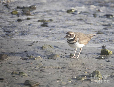 Killdeer Original by Graham Foulkes