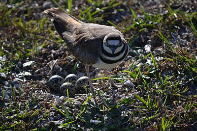 Killdeer Guarding Her Eggs Art Print