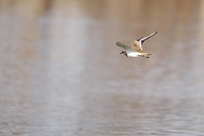 From The Kitchen - Killdeer In Flight by Roy Williams