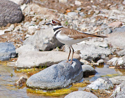 Photograph - Killdeer by Lula Adams