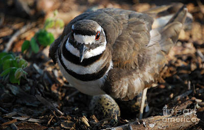 Killdeer Mom Art Print by Skip Willits