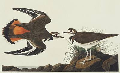 Killdeer Wall Art - Photograph - Killdeer by Natural History Museum, London/science Photo Library