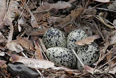Photograph - Killdeer Nest by Erica Hanel