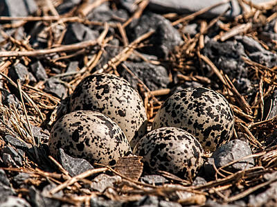 Killdeer Photograph - Killdeer Nest by Lara Ellis