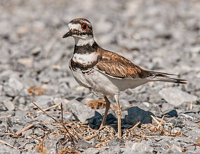 Killdeer Photograph - Killdeer Nesting by Lara Ellis