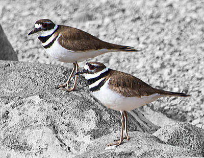 Photograph - Killdeer On Gray by Lula Adams