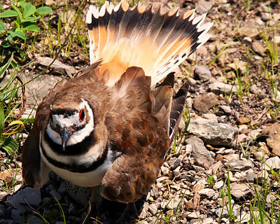 Of Birds Photograph - Killdeer On Its Nest by Chris Flees