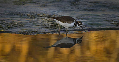 Photograph - Killdeer -orange7 by Rae Ann  M Garrett