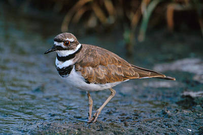 Killdeer Photograph - Killdeer by Paul J. Fusco