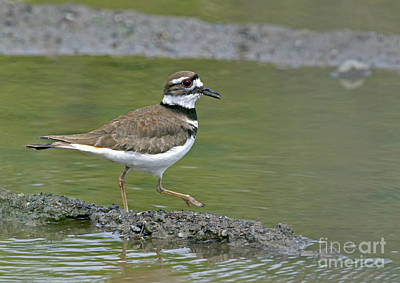Killdeer Photograph - Killdeer Walking by Sharon Talson
