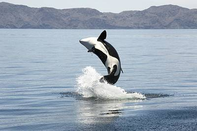 Killer Whale Breaching Art Print by Christopher Swann