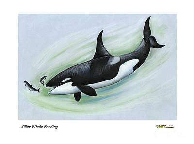 Killer Whale Feeding Art Print