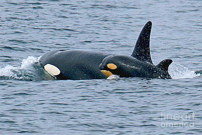 Print featuring the photograph Killer Whale Mother And New Born Calf Orcas In Monterey Bay 2013 by California Views Mr Pat Hathaway Archives