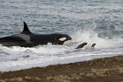 Valdes Photograph - Killer Whale, Patagonia by Francois Gohier - Vwpics