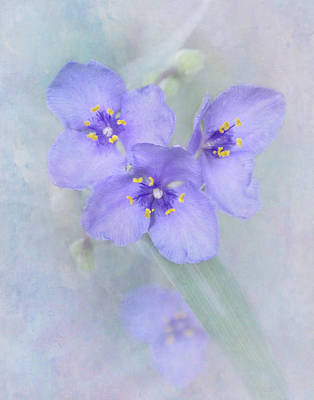 Spider Wort Photograph - Kinda' Blue by David and Carol Kelly