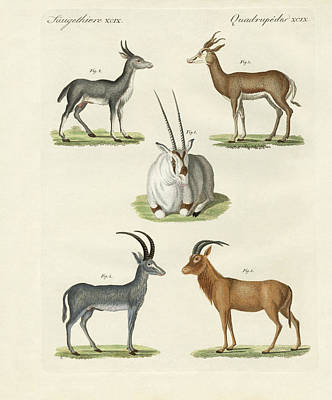 Antelope Drawing - Kinds Of Antilopes by Splendid Art Prints